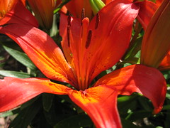 One of our Daylilies today (photo.nick) Tags: summer flower garden stamens daylily anther tepals snaptweet