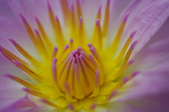 Water Lily (h orihashi) Tags: flowers flower macro nature japan searchthebest pentax hiroshima 日本 花 soe 広島 naturesfinest blueribbonwinner coth supershot flowerotica flickrsbest bej fantasticflower fineartphotos flickrsmileys mywinners abigfave platinumphoto impressedbeauty crystalaward k20d excellentphotographerawards heartawards platinumheartaward flickrsfantasticflowers betterthangood theperfectphotographer picturesworthathousandwords cherryontopphotography pentaxk20d damniwishidtakenthat theflowerbasket dragonflyawards planetearthflowers happyfloweryfridayeveryday favoritenaturalcolorsandlights championsphotography