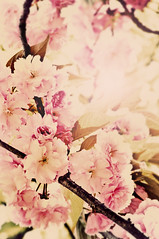 SPRING...Finally (irfan cheema...) Tags: pink flowers cherry spring shanghai blossoms fotografíaglobal irfancheema