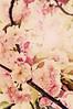 SPRING...Finally (irfan cheema...) Tags: pink flowers cherry spring shanghai blossoms fotografíaglobal irfancheema