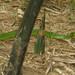 生態 22 青竹絲