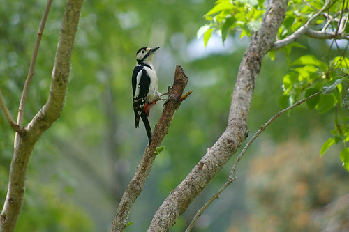 Great Spotted Woodpecker 18