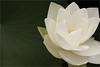 Lotus Flower Macro - IMG_0057-800 (Bahman Farzad) Tags: flower macro yoga peace lotus relaxing peaceful meditation therapy lotusflower lotuspetal lotuspetals lotusflowerpetals lotusflowerpetal