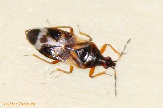 Percevejo // Minute Pirate Bug (Anthocoris con...