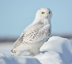 Snowy Owl on the Snow Drift (rabidscottsman) Tags: scotthendersonphotography minnesota snowyowl owl vermillionminnesota monday bird raptor yelloweyes snow snowbank nikon nikond7100 d7100 dakotacountyminnesota dakotacounty day69 nature wildlife mothernature sigma150500 wild rural buboscandiacus posing portrait beautiful white animal animalphotography avian travel yabbadabbadoo wildlifewednesday exploreminnesota bokeh f80 4525mm 11000th iso140 usa unitedstatesofamerica mn socialmedia visitor