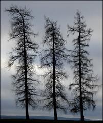 three trees (helena.e) Tags: helenab gräfsnäs helenae träd lärkträd hackmatack tre three