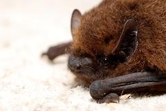 Pipistrellus pipistrellus (Gilles San Martin) Tags: belgique bat bats jambes chiroptera