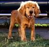Guiño - Wink (EstebanMR .... I have no real intent ..... Save me) Tags: dog smile face cara perro cachorro papel cockerspaniel wink mascota guiño papper papelito