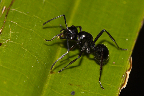 Black Ant   Bugs in my garden