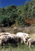Sheep in Galicia