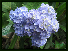 First flowering of Hydrangea macrophylla 'Endless Summer' at our backyard, Jan 26 2009