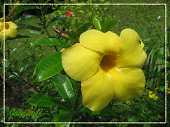 Allamanda cathartica 'Hendersonii' or 'Brown Bud' (Yellow Allamanda/Bell, Golden Trumpet)
