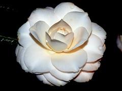 CAMELIA   -         カメリア (LUIS FELICIANO) Tags: flower fleur flor olympus camelia 花 blume زهرة camelio e510 laflormasbella fineartphotos mywinners flickrdiamond カメリア