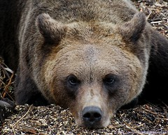 Bear in mind (nikkorglass) Tags: bear nikon sweden björn sverige nikkor skansen 70300 potofgold d80