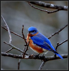 Blue Monday Bluebird (Tracey Tilson Photography) Tags: blue nature nc nikon searchthebest north carolina bluebird monday eastern picnik d90 specanimal