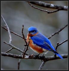 Blue Monday Bluebird (Tracey Tilson Photography) Tags: blue nature nc nikon searchthebest north carolina bluebird monday eastern picnik d90 specanimal