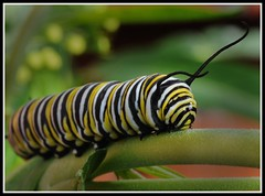Monarch caterpillar (Chook with the looks) Tags: newzealand macro nikon caterpillar monarch swanplant d300 nikkor60mmmacro photofaceoffwinner photofaceoffplatinum themacrogroup pfogold