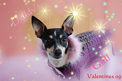 Happy Valentines day from Ophelia (Morning Mrs Lisa) Tags: dog puppy nikon canine paintshoppro ratterrier opel daddysgirl ophelia womansbestfriend d40 nikond40 photoimpactpro valentinesday2009