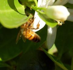 Busy (elizabethdonoghue) Tags: insect bee citrus pollination cumquat invertibrate fertilising