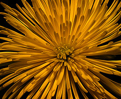 Explosion (dart5150) Tags: light flower macro yellow gold warm fireworks explosion greatphoto platinumphoto anawesomeshot spidermumithink ifyoursickofflowerstelldontoquitbuyingthemforme