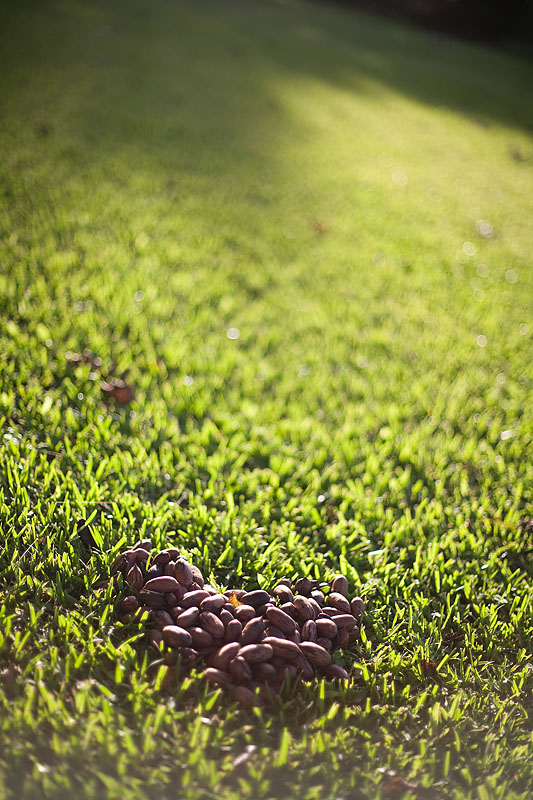 Pecan Harvest