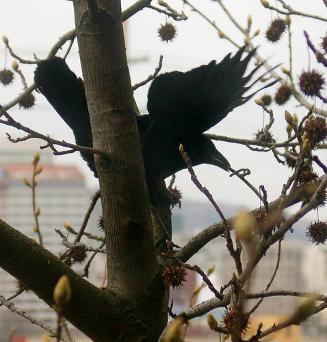 DSC_66_crow_twig