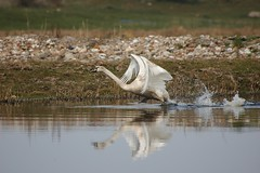 Running on water (vanstaffs) Tags: bird swan muteswan cygnusolor abigfave