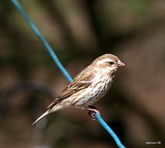 and the lovely lady (deerluvr) Tags: female muskoka inmybackyard purplefinch naturethroughthelens