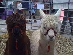 Alpacas at Wonderwool