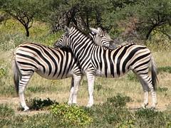Resting Zebras (biancapreusker) Tags: africa game animal wildlife pair stripe safari zebra namibia equus potofgold naturesfinest canonpowershots2 etoscha specanimal colorphotoaward beautifulworldchallenges thechallengefactory fantasticwildlife