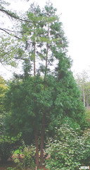 Cryptomeria japonica 05 (My Morton Arboretum Images) Tags: cypresses
