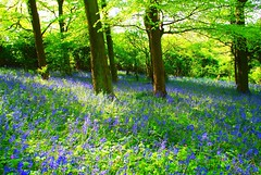 Bluebell Forest (Luke Andrew Scowen 2009) Tags: flowers nature bluebells forest bristol landscape spring woods purple sony may a200 bluebell bluebellwoods bluebellforest sonyalpha sonya200 vosplusbellesphotos lukeas09 lukescowen lukeascowen lukeascowen2009