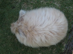 Angora rabbit or Tribble?