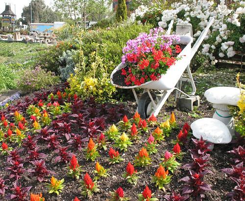 wheelbarrow garden, iceberg roses, celosia, geraniums