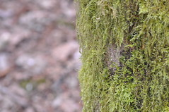 (CF008) Tags: green treetrunk mosss
