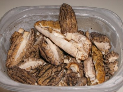 Morels from Michigan