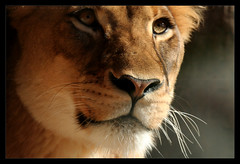 Calm (imagineerphoenix) Tags: park wild face animal san close african diego calm lioness mywinners rubyphotographer goldenheartaward passionateinspirations artofatmosphere