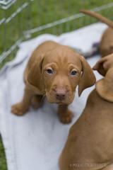 Vizsla Welpen - 6. Lebenswoche (maxheidenfelder) Tags: puppies magyar puppie welpe whelp magyarvizsla whelps vizslawelpen
