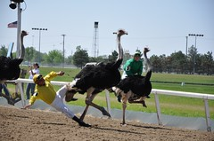 Just anther day at the Ostrich Races