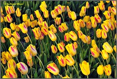 Tulpen  Tulip  (M.A.K.photo) Tags: flowers nature netherlands dutch landscape europe tulips outdoor tulip nordsee texel naturefinest