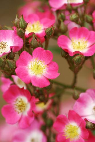 Rose-Mozart by koizumi.