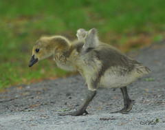 I BELIEVE I CAN FLY SAID BABY GOOSE (diverpow) Tags: wild cute bird nature animal newjersey wildlife nj jersey stockphoto unioncounty toocute babygoose cuteanimal rahwayriverpark firstattemptatflight birdsnw09