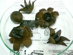 Fungi: Geastrum (Gasteromycetes) ((biophotos)) Tags: macro fungi fungus slides biology microbiology microscopy basidiomycota biologia ascomycota fungo fungos lâminas gasteromycetes microbiologia