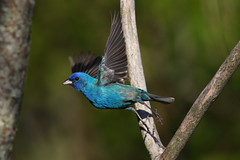 Indigo Bunting (naturelover2007) Tags: ontario canada bird nature fauna searchthebest flight naturelover indigobunting avianexcellence faunainmotion betterthangood
