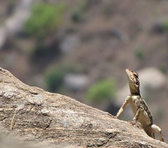 Whats up there? (crazy_tiger) Tags: macros lizards ramanagaram