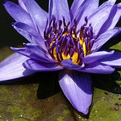 Water lily (ddsnet) Tags: plant flower water waterlily lily sony hsinchu taiwan aquatic   nymphaea aquaticplants 900        sinpu hsinpu  lily water  quotwater tetragona water    lilyquot 900 lily plantsquot  nymphaeatetragona    nymphaea plants nymphaeatetragon quotaquatic quotnymphaea tetragonaquot aquatic nymphaea tetragona plantsnymphaea tetragona