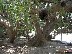 布袋鎮永安里永安宮旁土沉香老樹