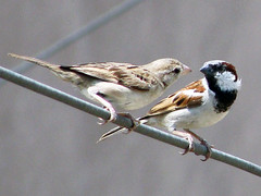 Love Talk (jas-B) Tags: wire couple sitting afternoon lovers sparrow talks citybirds malefemale naturesfinest