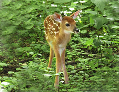 White-tailed Deer fawn (Hard-Rain) Tags: trees game tree animals forest illinois woods hiking wildlife hunting hike deer mountainbiking mammals stalk mammalia towpath hunt whitetail deerhunting whitetailed odocoileus odocoileusvirginianus channahon cervidae chordata imcanal artiodactyla explore246