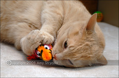 Cat Playing with Toy Mouse (amycicconi) Tags: orange pet playing cat toy mouse photo paw kitten feline play tabby kitty whiskers shorthair d200 playful cattoy cattoys domesticanimal nikond200 amystrycula strycula astrycula domestiicshorthair